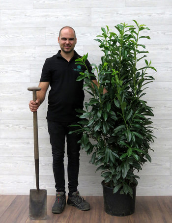 Heckenpflanzen bis 180cm