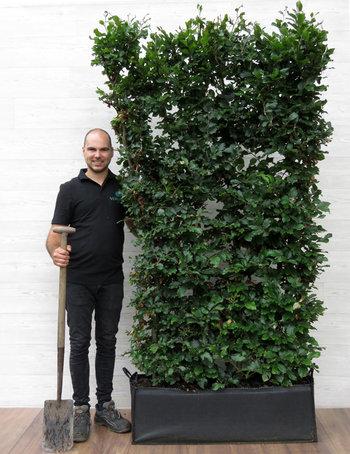 Haagplanten van 180 - 250 cm