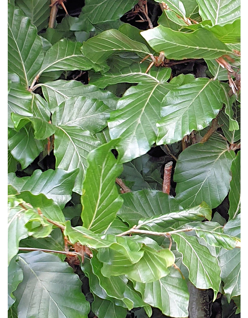 Groene Beuk 175-200cm in 12 liter pot