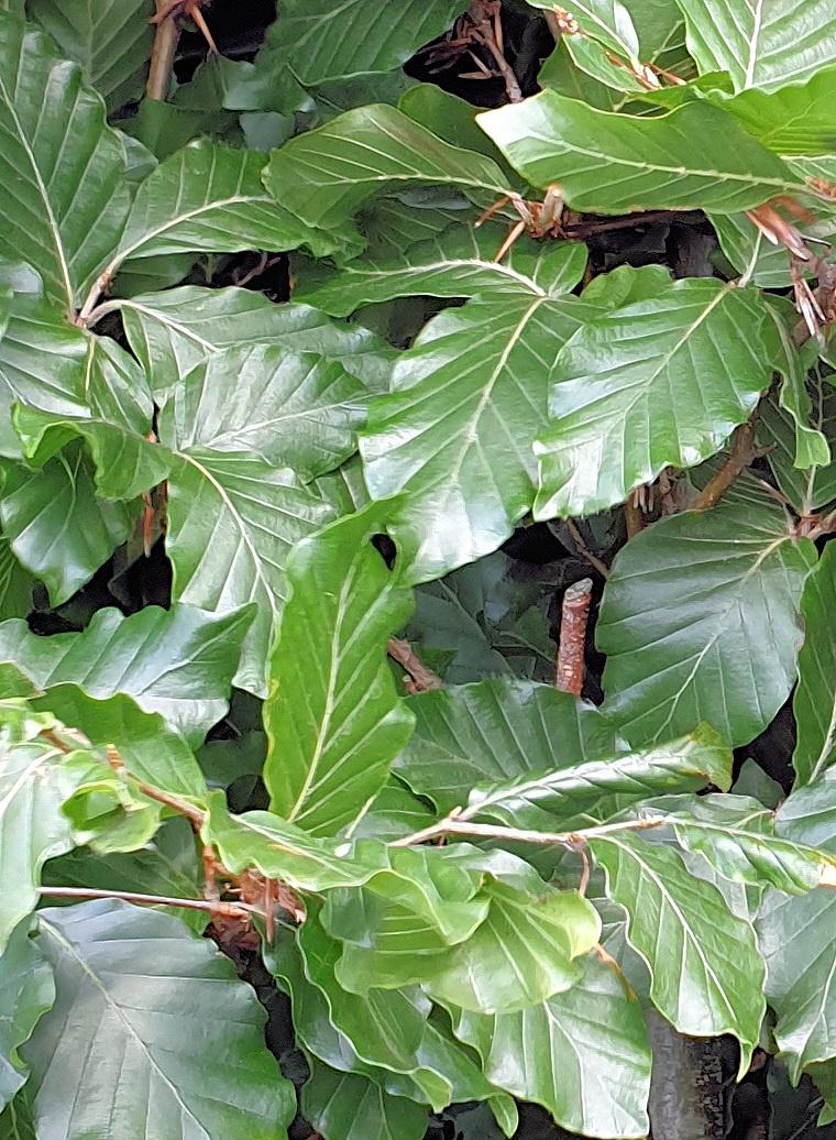 Groene Beuk 100-125cm 4 liter pot