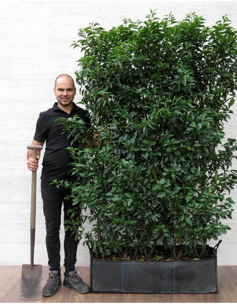 Portugese Laurier 180cm Haagelement