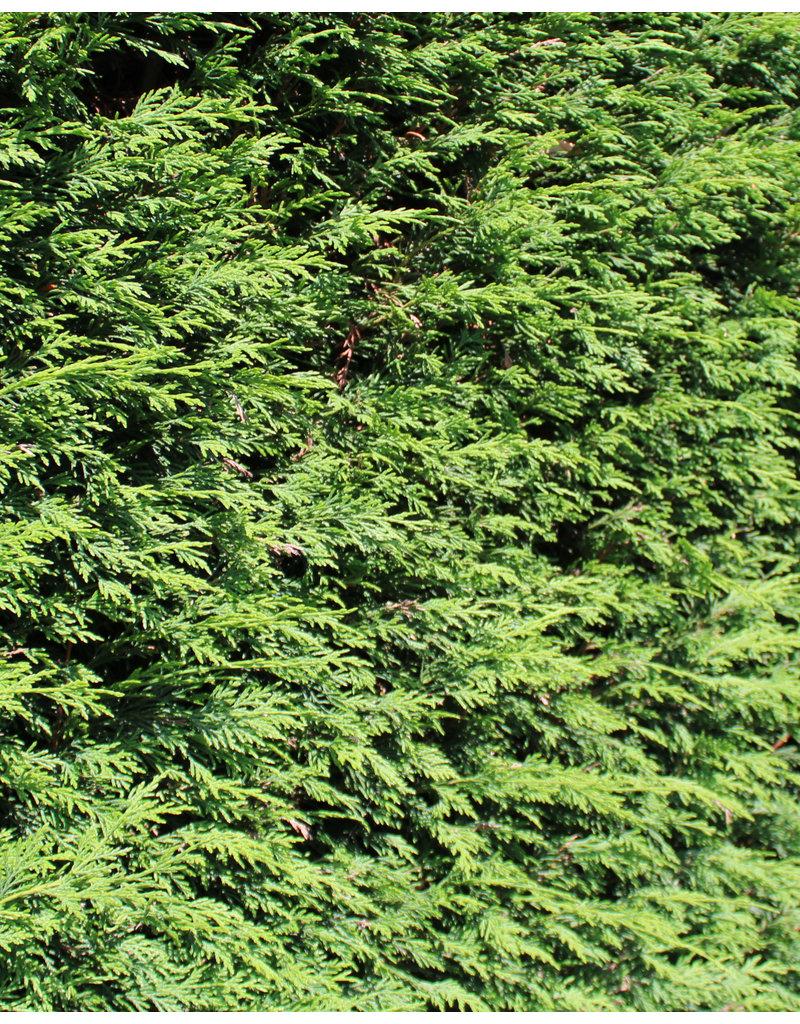 Lebensbaum Brabant 150-175cm
