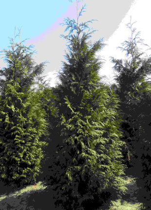 Dunkelgrüne Lebensbaum 275-300cm