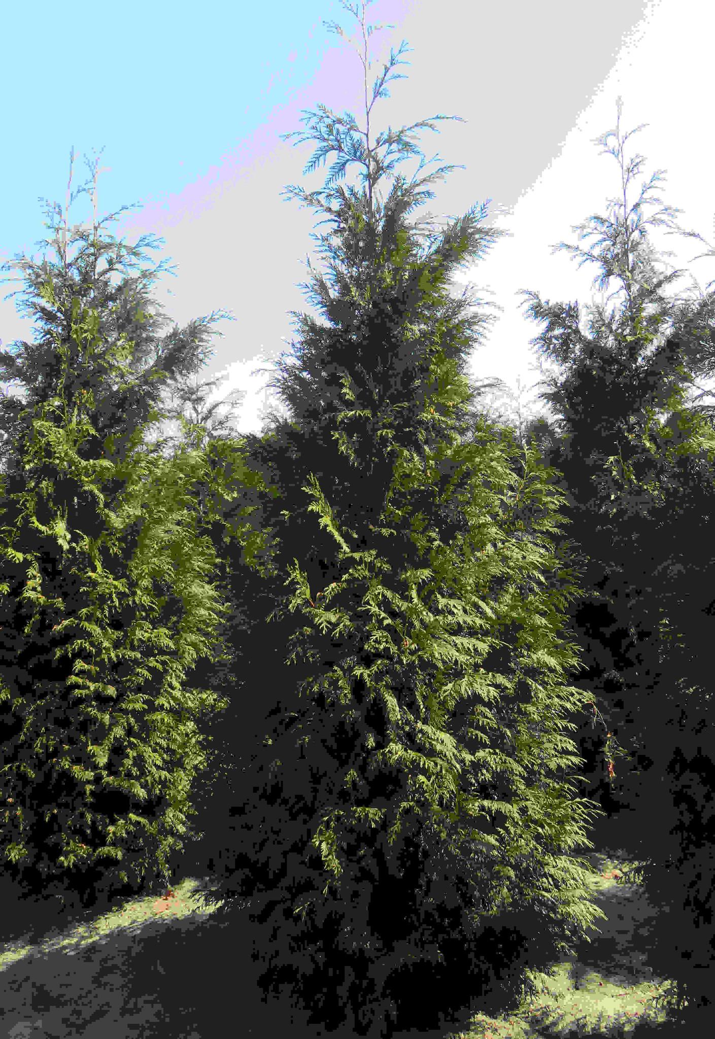 Donkergroene Thuja 275-300cm