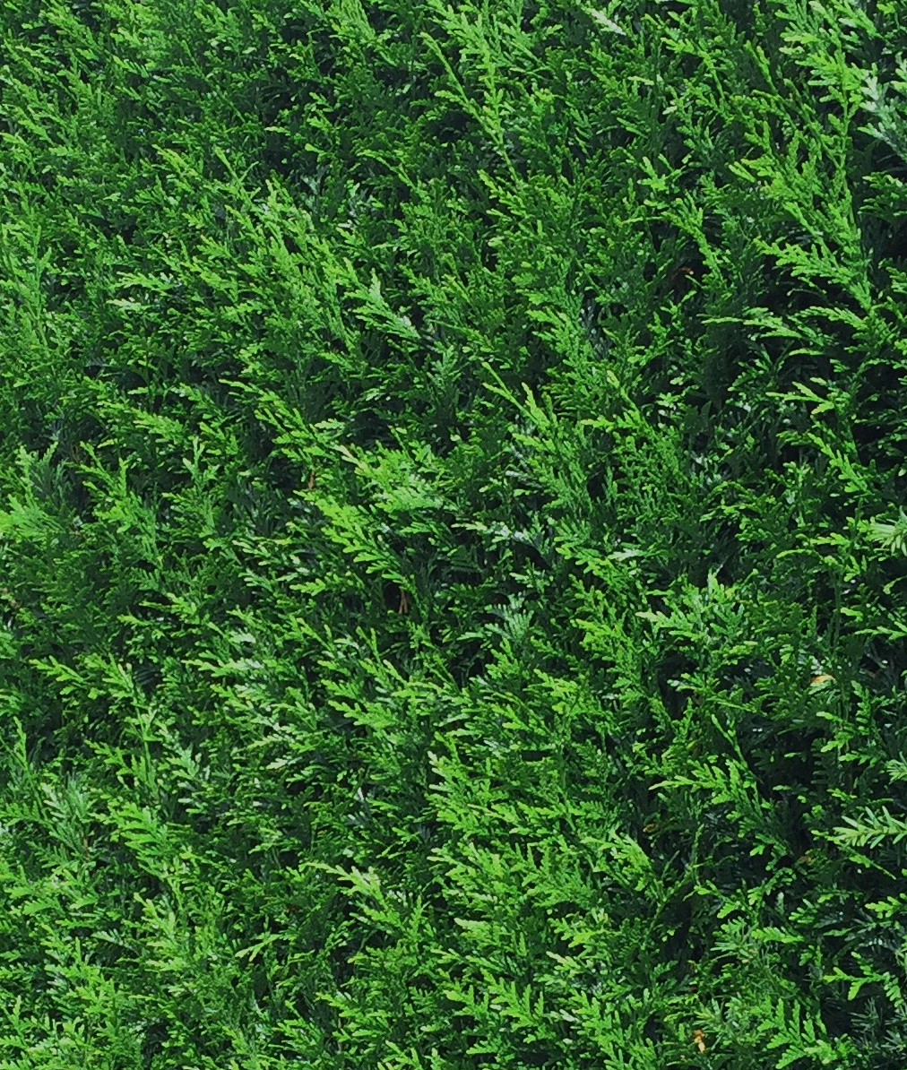Donkergroene Thuja 125-150cm