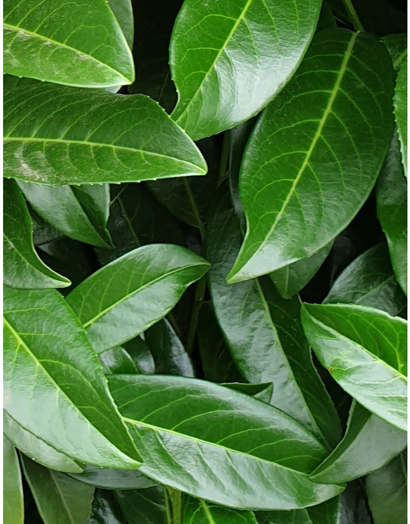 Laurier Genolia 100-125cm