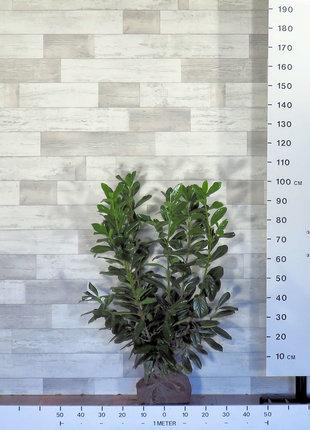 Kirschlorbeer Novita 80-100cm