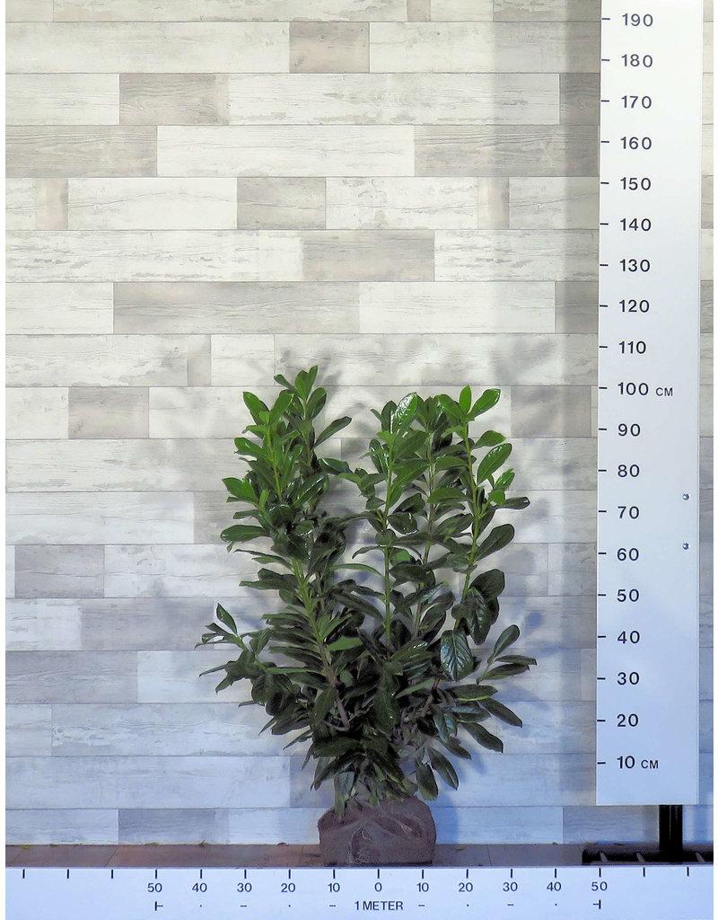 Laurier Novita 80-100cm met kluit