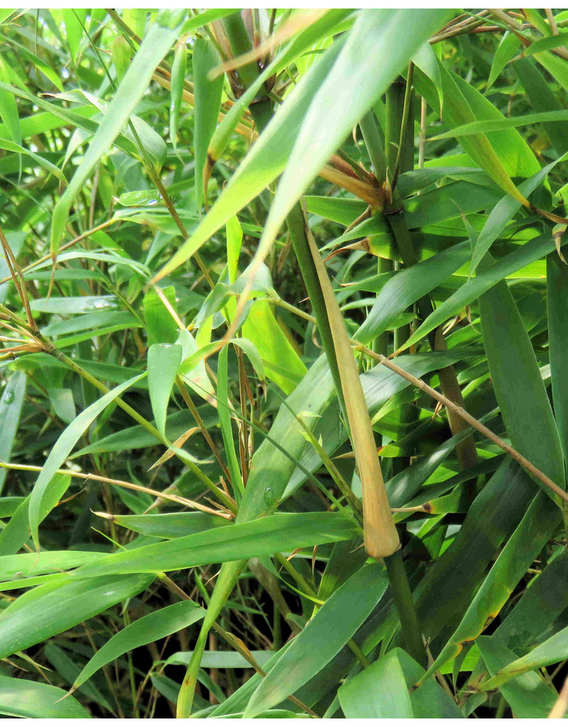 Fargesia Rufa 80-100cm im 10 liter Topf