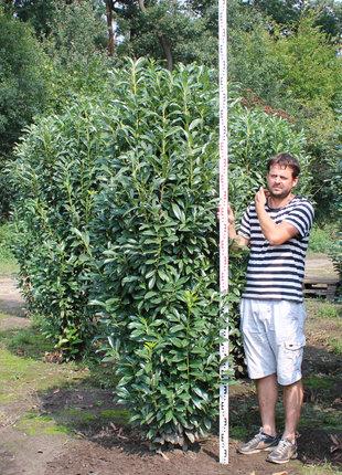 Laurier Genolia 200-225cm