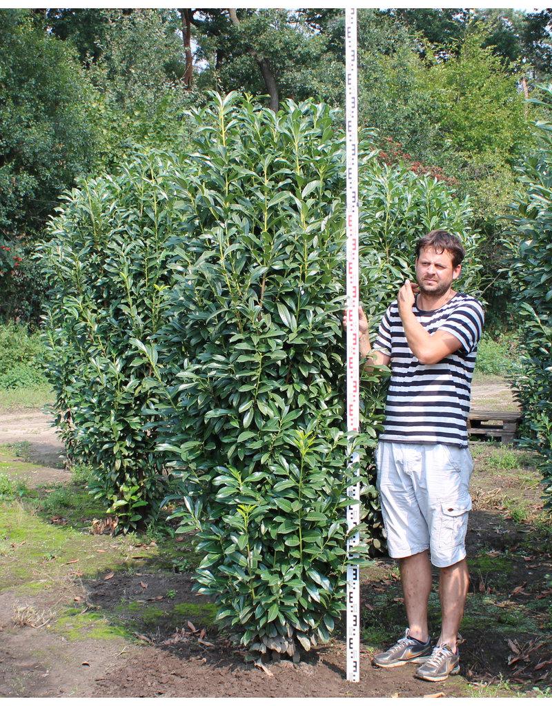 Kirschlorbeer Genolia 200-225cm