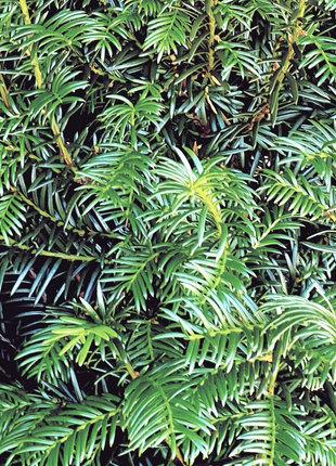 Taxus 200-225cm