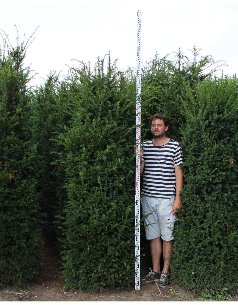 Taxus 225-250cm  met kluit