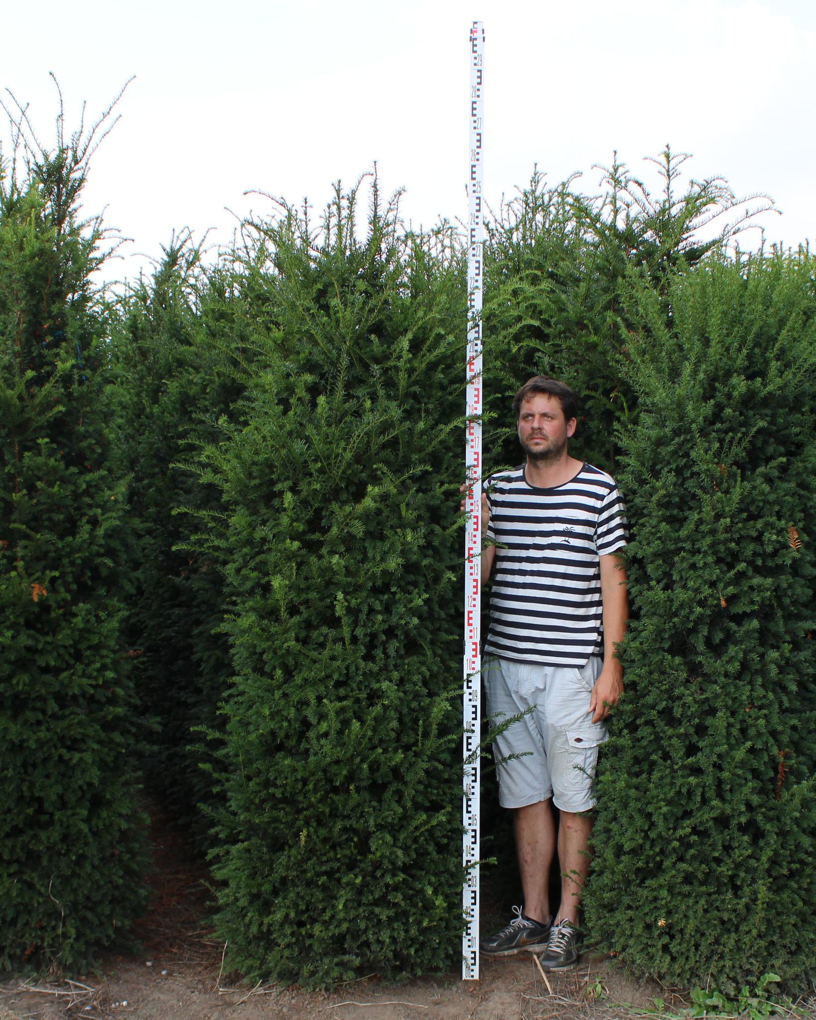 Eibe 225-250cm mit Ballen