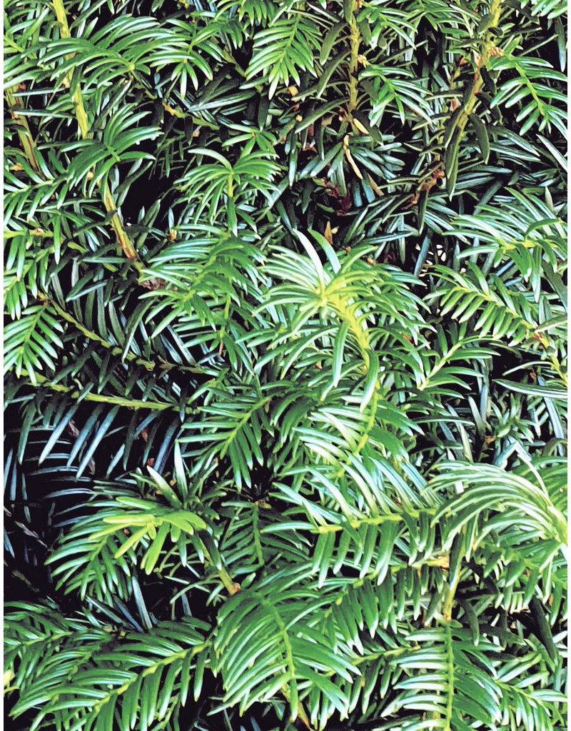 Taxus 275-300cm  met kluit