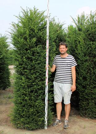 Taxus 275-300cm