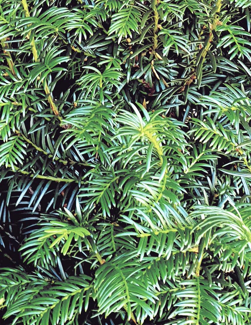 Taxus 300-350cm met kluit