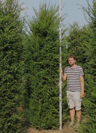 Taxus 325-350cm