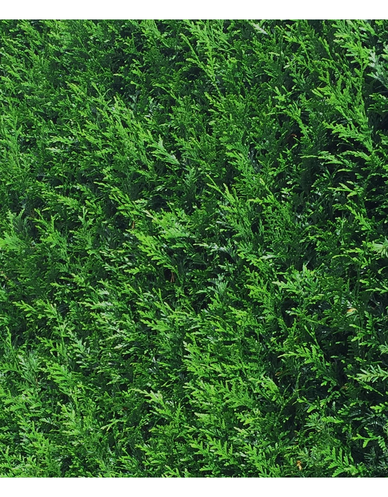 Dunkelgrüne Lebensbaum 300-325cm