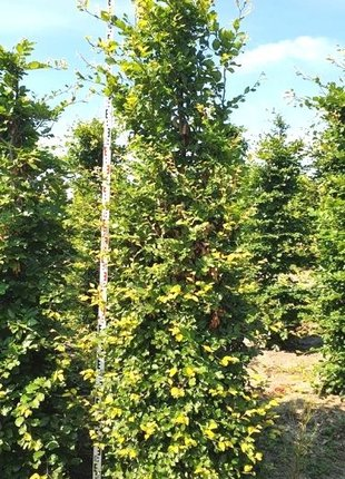 Groene Beuk 275-300cm