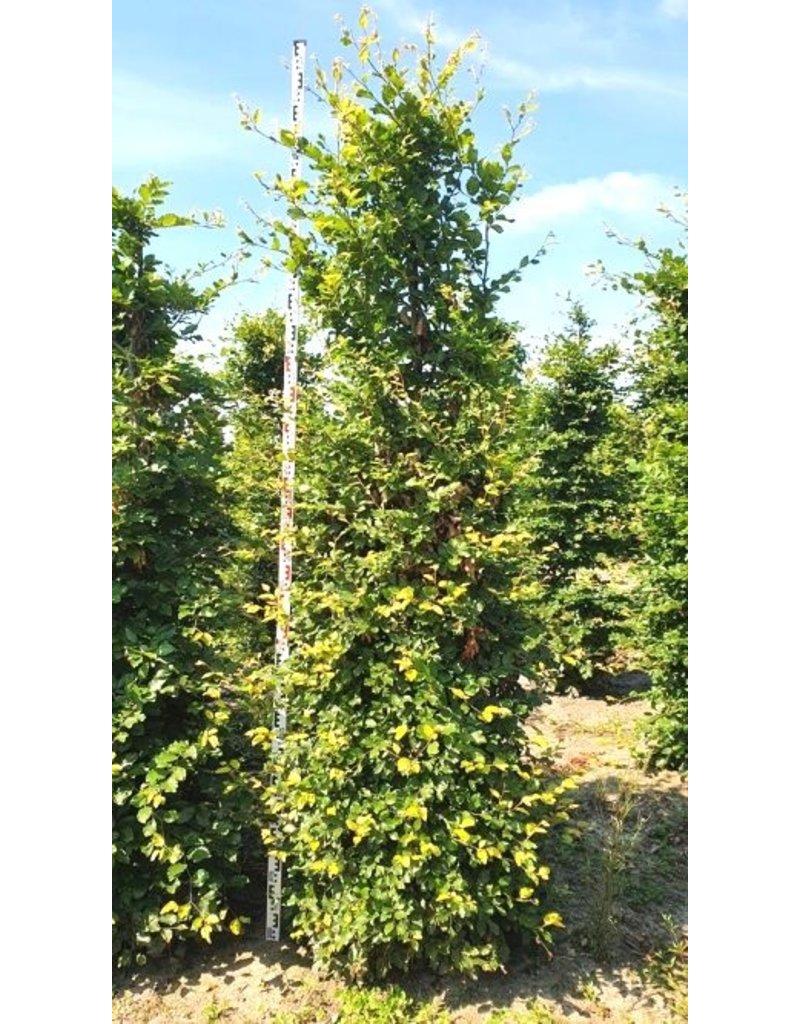 Groene Beuk 275-300cm met kluit