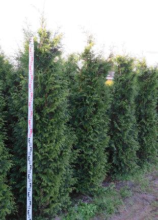 Donkergroene Thuja 200-225cm