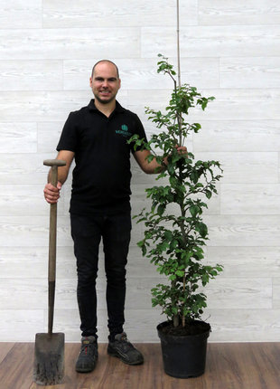 Groene Beuk 125-150cm in 12 liter pot