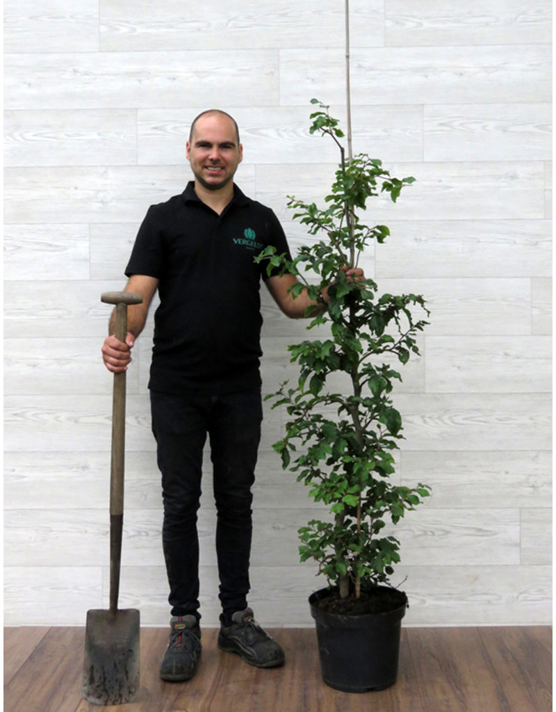 Groene Beuk 125-150cm 12 liter pot