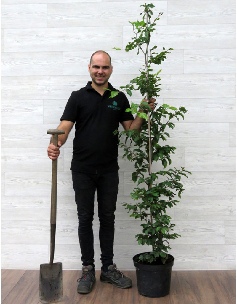 Groene Beuk 150-175cm in 12 liter pot