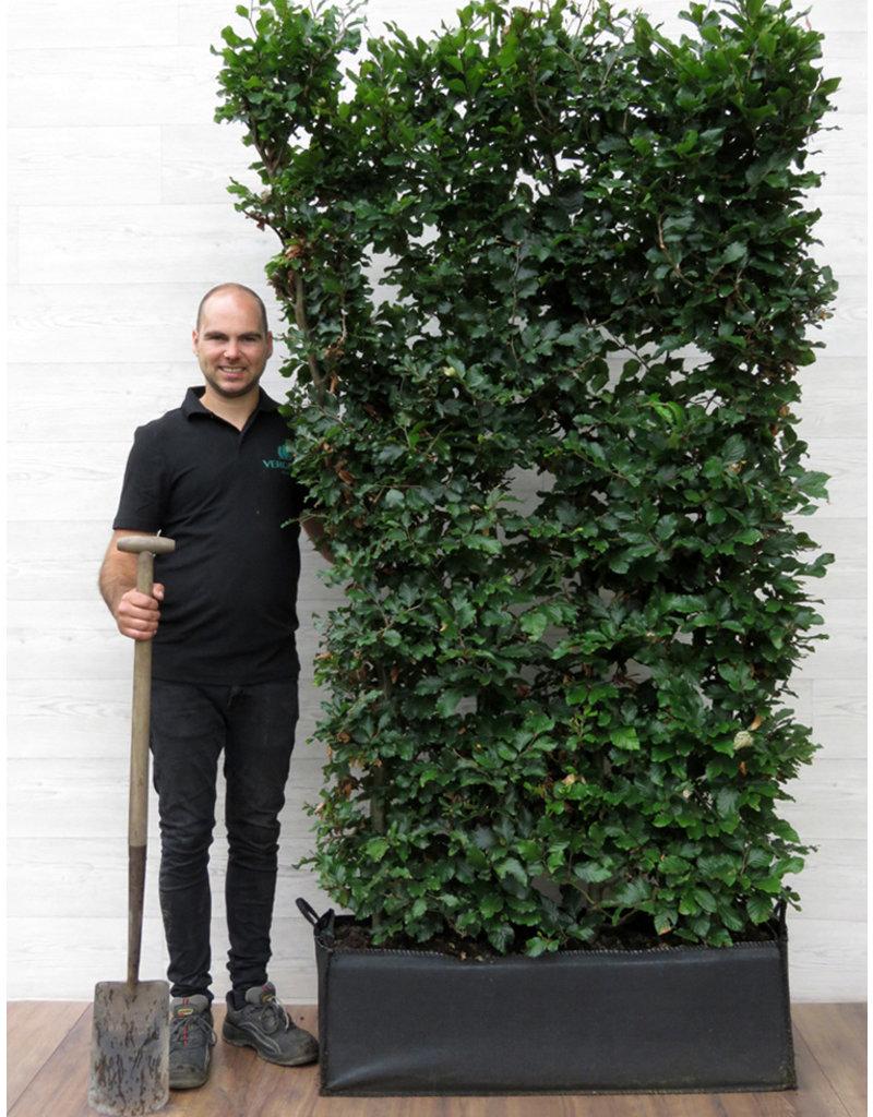 Groene Beuk 200cm Haagelement