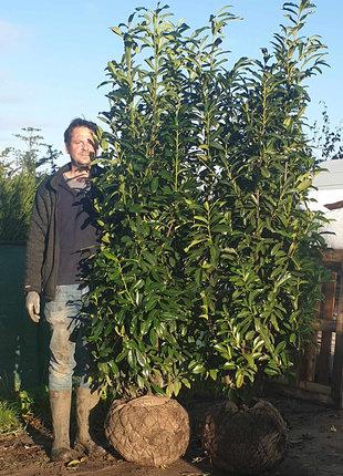 Kirschlorbeer Genolia 180-200cm