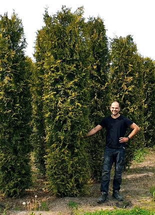 Lebensbaum Brabant 250-275cm