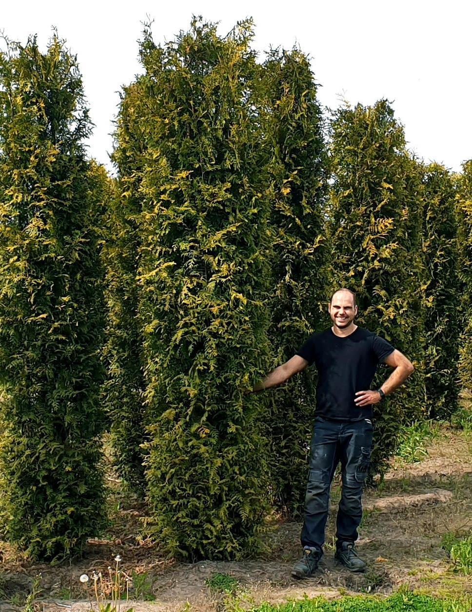 Conifeer Brabant 250-275cm