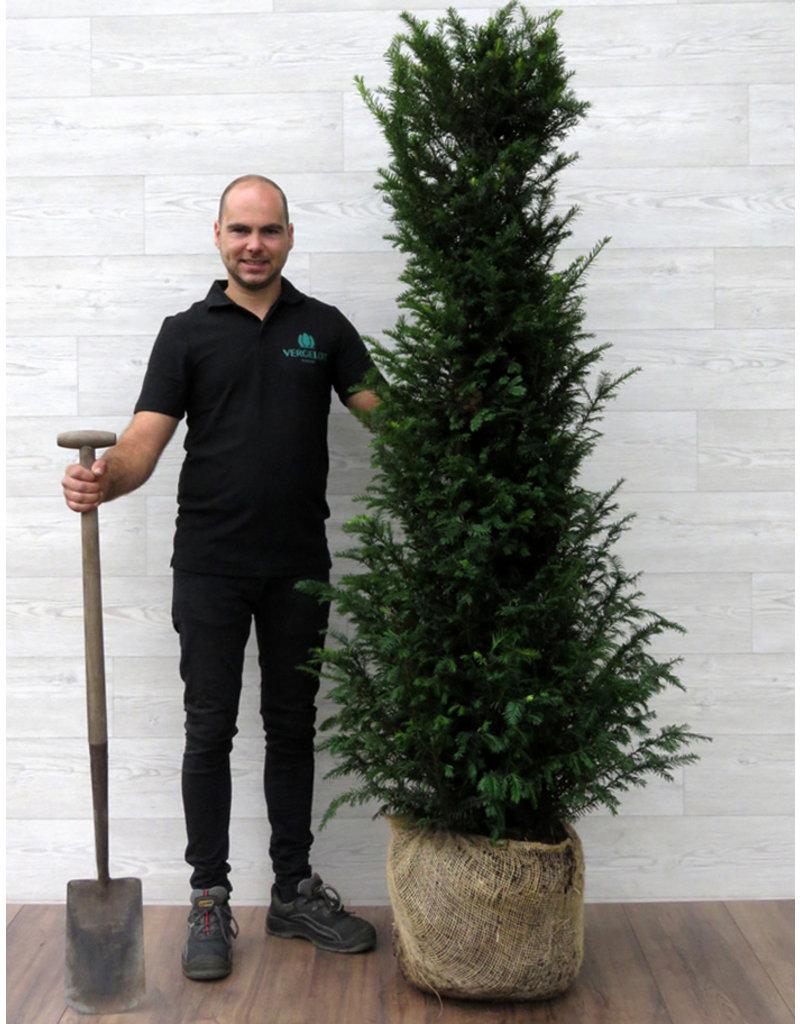 Taxus 160-180cm