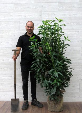 Laurier Genolia 125-150cm