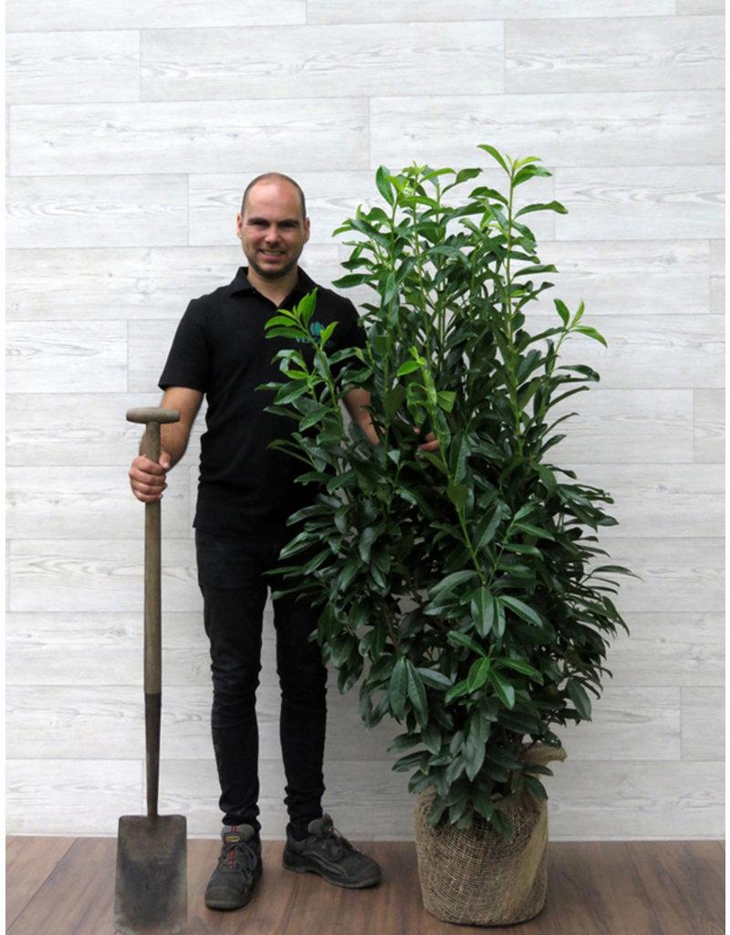 Kirschlorbeer Genolia 125-150cm