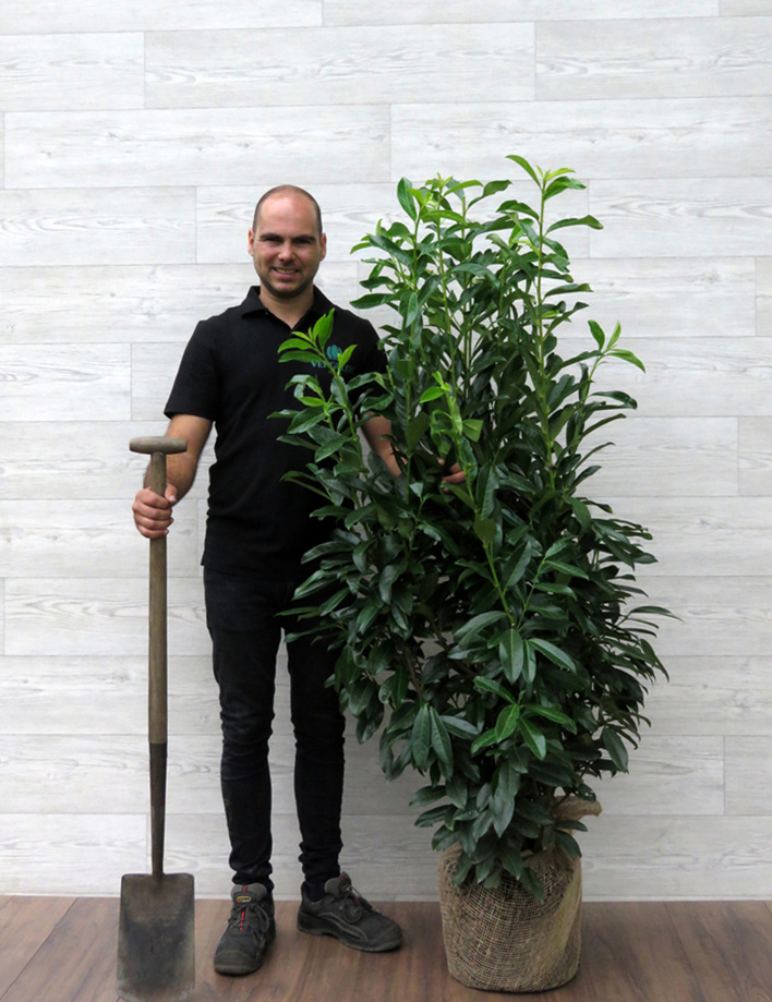 Laurier Genolia 125-150cm met kluit
