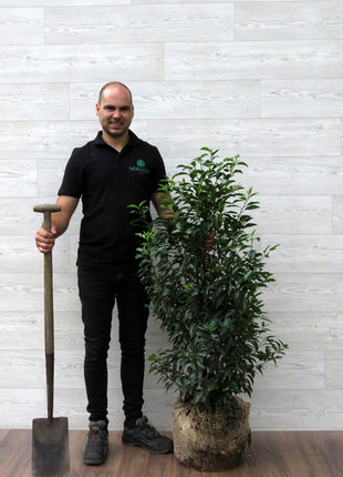 Portugese Laurier 100-125cm