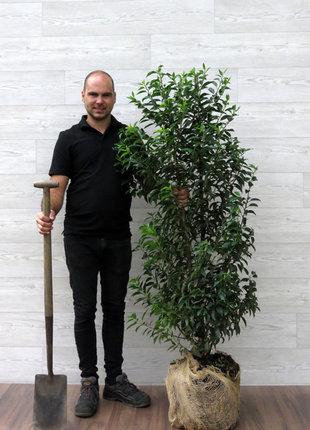 Portugiesischer Kirschlorbeer 125-150cm