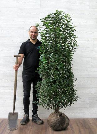 Portugese Laurier 150-175cm