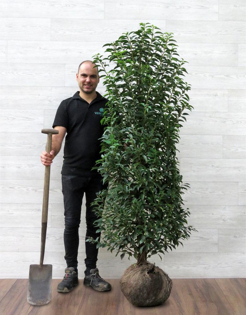 Portugese Laurier 150-175cm met kluit