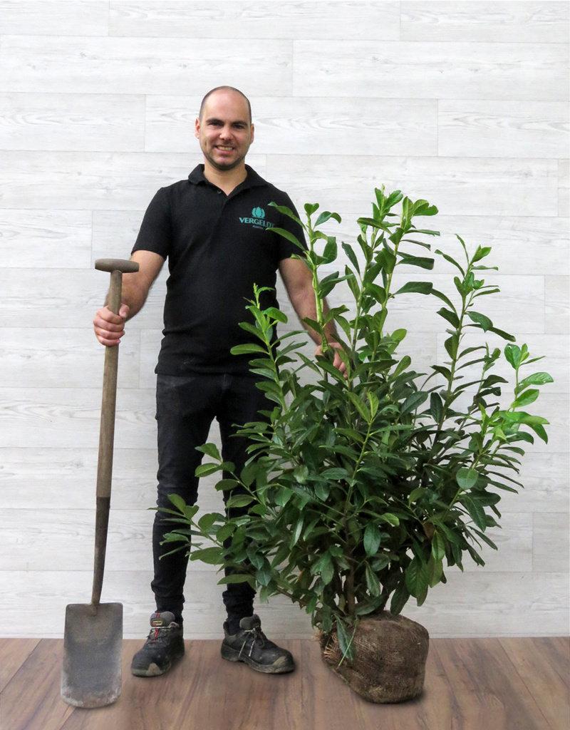 Laurier Novita  100-125cm met kluit