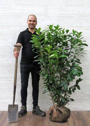 Kirschlorbeer Novita  125-150cm