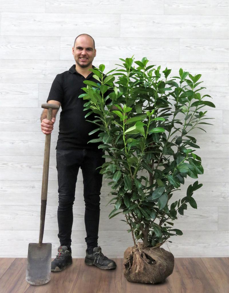 Laurier Novita  125-150cm met kluit