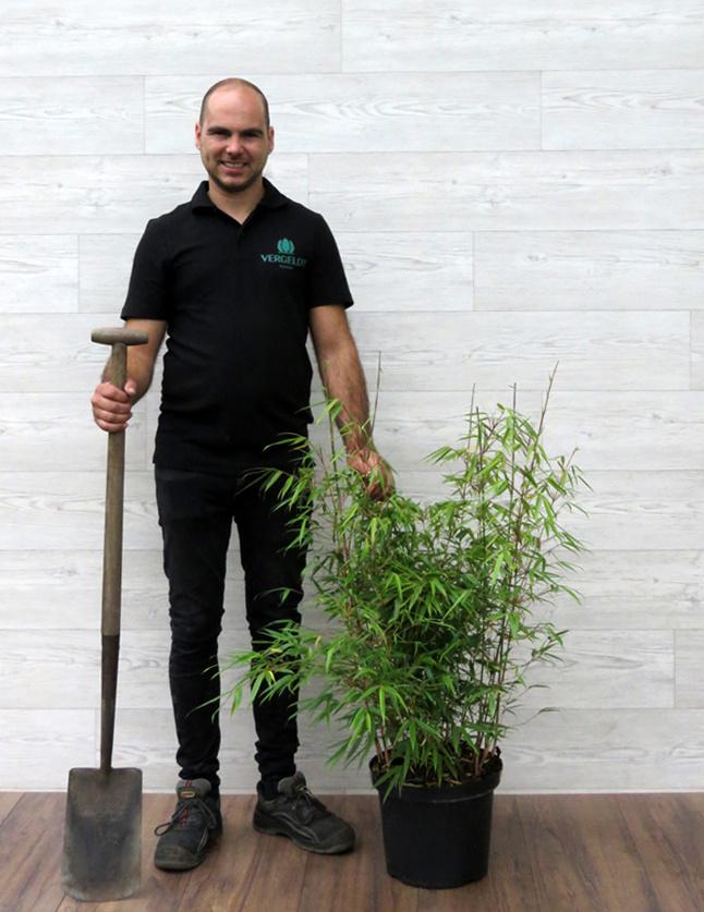 Fargesia Rufa 60-80cm in 5 liter pot