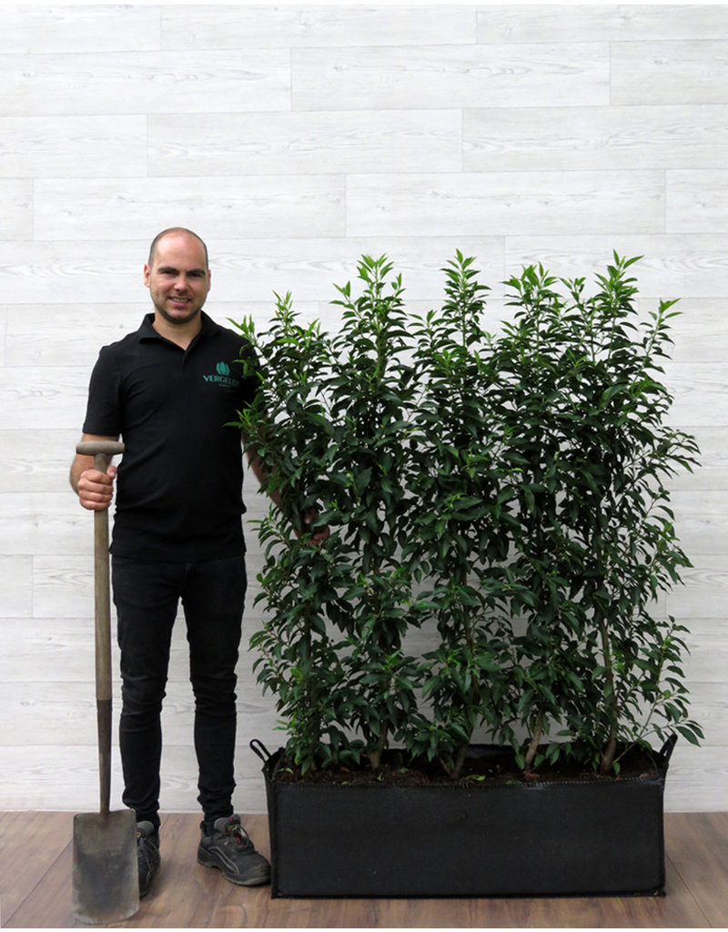 Portugese Laurier 120cm Haagelement