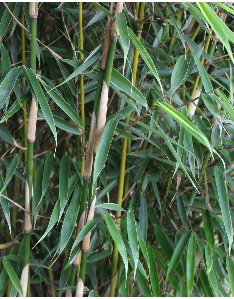 Fargesia robusta Campbell 60-80cm im 7,5 liter Topf