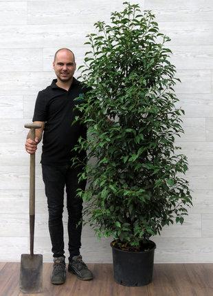 Portugese Laurier 160-180cm in pot