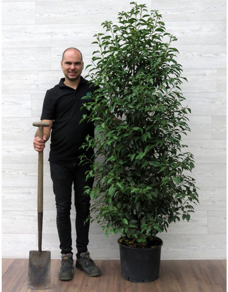 Portugese Laurier 160-180cm met pot