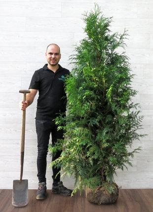 Dunkelgrüne Lebensbaum 180-200cm